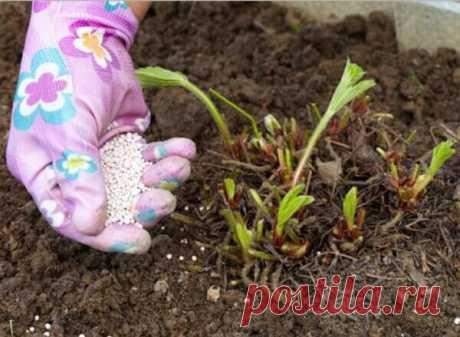 Чем правильно удобрять клубнику весной? Вас ждет небывалый урожай   Дачка на прокачку   Яндекс Дзен