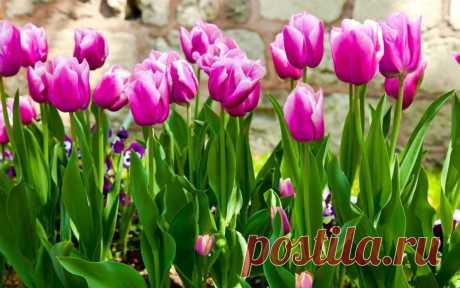 Правила ухода за тюльпанами. Во время интенсивного роста цветка удобрения в грунт нужно внести 3 раза. Понять, какого именно удобрения не хватает растению можно по его внешнему виду. Так, если листочки стали менее широкими и не способны удерживать вертикальное положение, то значит тюльпану необходимо азотосодержащее удобрение. Появившаяся по кромке листвы синева означает, что растениям не достает калия, а также фосфора. Заболевшие тюльпаны необходимо повыдергивать из почвы...