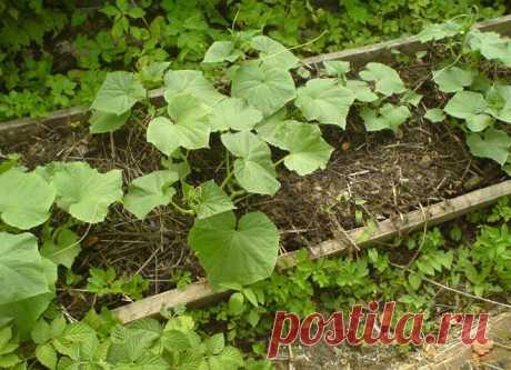 Как получить урожай огурцов на 2-3 недели раньше срока   На грядке (Огород.ru)