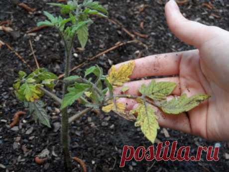 Подкармливаем рассаду томатов для максимального урожая