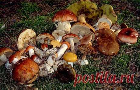 ГРИБНАЯ ЭНЦИКЛОПЕДИЯ. Определитель грибов. Как собирать грибы