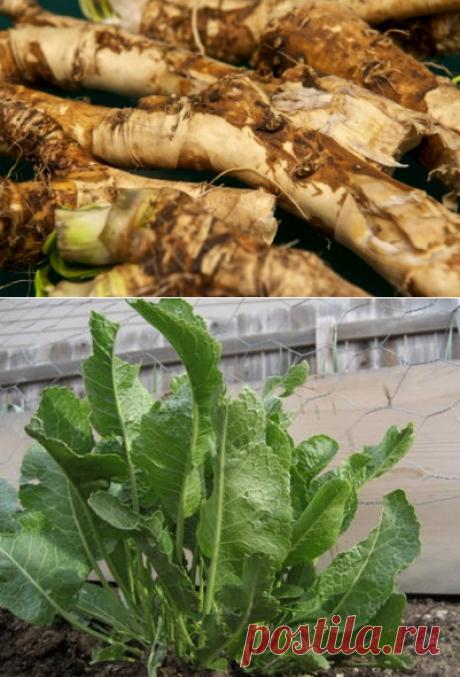 Вредители и болезни хрена: основные проблемы при выращивани