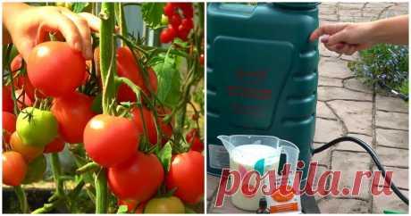 Эффективная подкормка томатов, благодаря которой плодов завяжется в 10 раз больше ...
