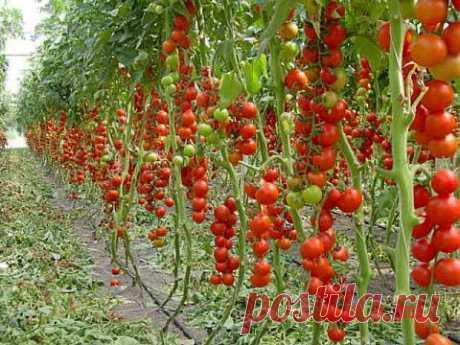 Удаление листьев на томате..