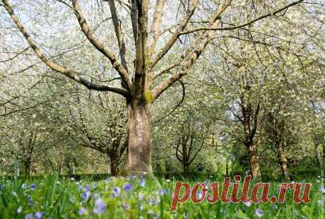 Цветение сакуры во Франции: luyssi70