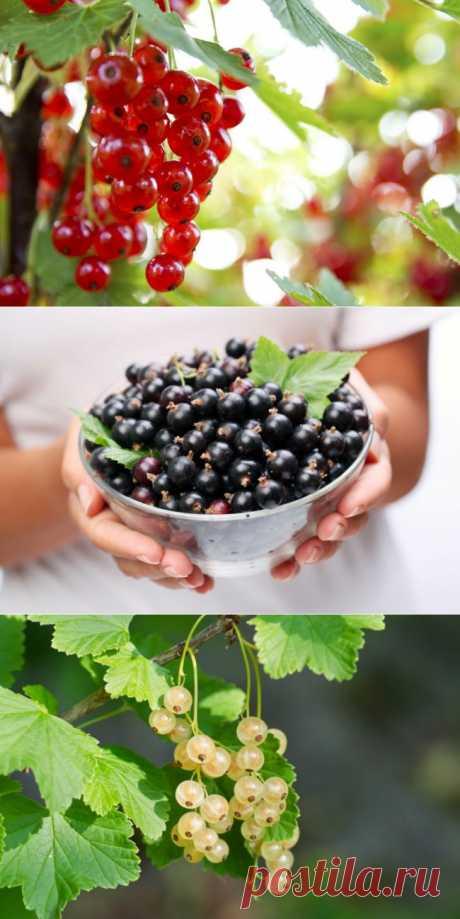 Чтобы смородина была сладкой: правильное удобрение - Портал «Домашний»