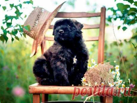 «Фландрский бувье» — карточка пользователя Валентина в Яндекс.Коллекциях
