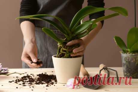 Особенности выращивания орхидей Фаленопсис, возможные ошибки ухода, болезни, вредители | В огороде | Яндекс Дзен