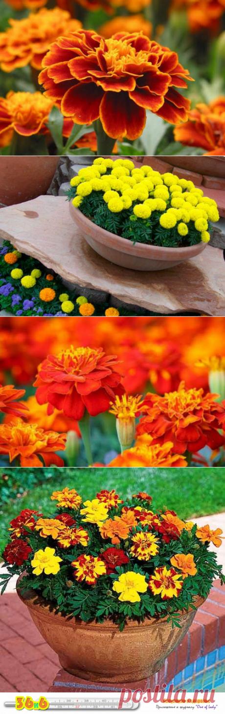 Бархатцы — чай с одним цветком способен «вытянуть» 100 болезней! | ...36 и 6