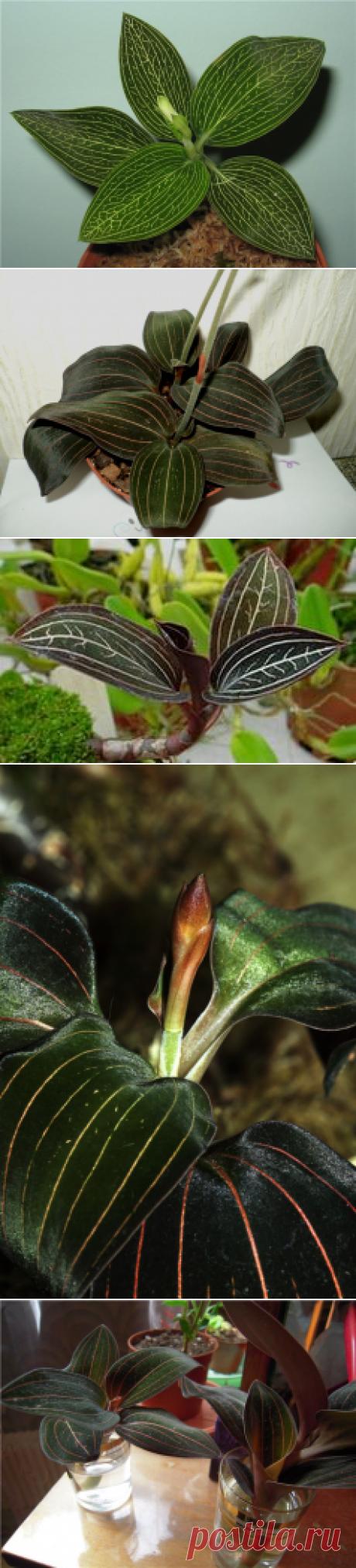 Орхидея Лудизия - уход в домашних условиях | Цветовод-Консалтинг