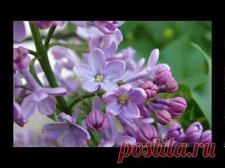 Валерий Залкин - Одинокая ветка сирени. - YouTube