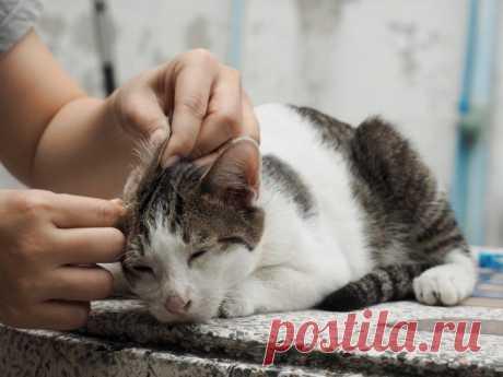 Правильная чистка ушей у кошки — Кот Обормот