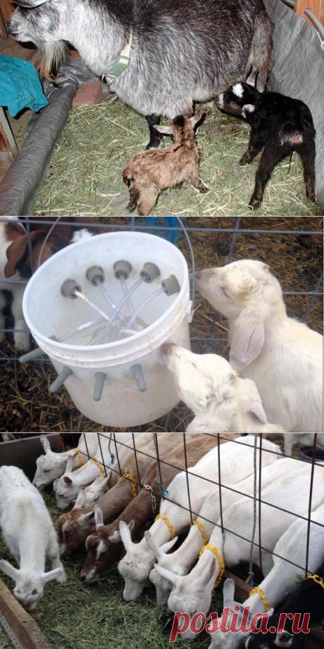 Кормление козлят – график для новорожденных, схема рациона в 1 месяц