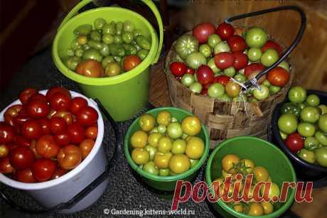Томат - 9 полезных фактов, реально помогающих повысить урожайность | Дача - это маленькая жизнь | Яндекс Дзен