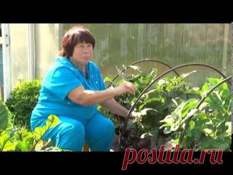 Томаты и баклажаны Натальи Мурашевой - YouTube