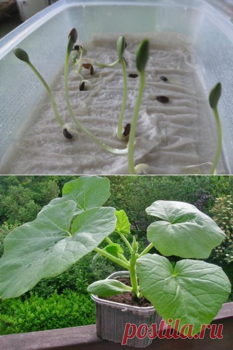 Простой и оригинальный способ выращивания рассады