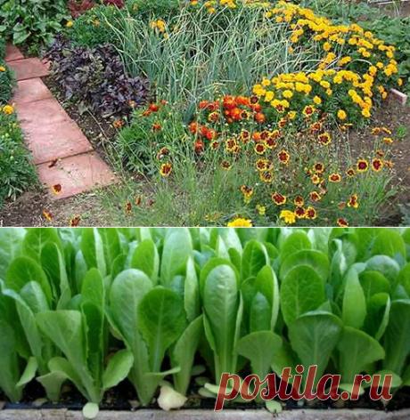 Какие овощи хорошо растут рядом. Совместимость | tobehome.ru