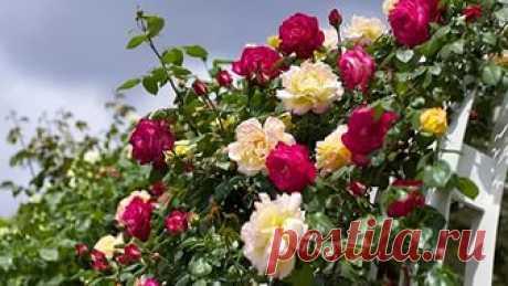 Чем удобрять розы. Раскрываем секреты буйного цветения
