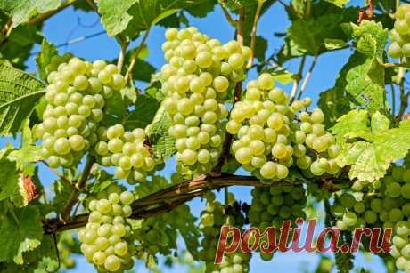 Где посадить виноград на участке? Место для посадки винограда следует выбирать тщательно, каждый сорт требует своих условий