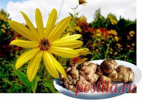 Лечебные свойства топинамбура  Лечебные свойства топинамбура известны далеко не всем.  Наверное, незаслуженно забыт этот ценный овощ, который еще называют земляной грушей.   Если посадить топинамбур ранней весной, то на следующий год его можно выкапывать и использовать.    Свойства топинамбура.   Растение содержат ценный инулин. Инулин- это полисахарид, благодаря которому, в организме вырабатывается фруктоза. Глюкоза усваивается только с участием гормона инсулина. Фруктозе...