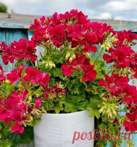 Как заставить Пеларгонию роскошно цвести всё лето | Klumba-plus.ru | Яндекс Дзен