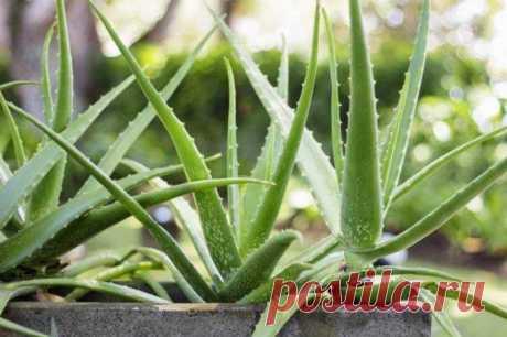 Растения, которые в ночное время активно выделяют кислород Многие приобретают комнатные растения, в качестве средства декорирования и украшения своего жилища. А ведь домашние цветы –это еще настоящая кислородная бомба. Как и любое живое существо, растения жив...