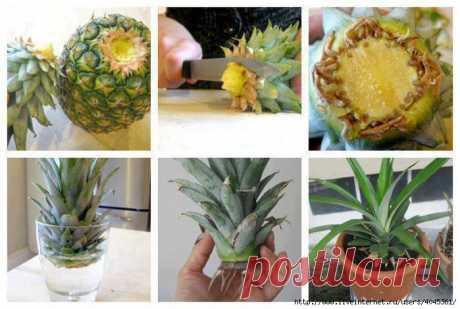 Как вырастить ананас . Милая Я
