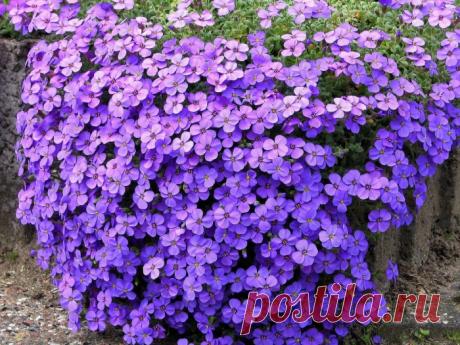 Обриета - яркий красочный ковер из розовых, малиновых, фиолетовых цветов