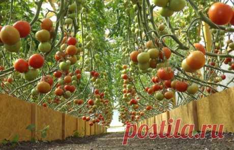 Выращивание томатов безрассадным способом: правила и особенности нестандартного метода