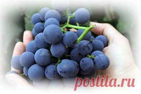 Готовимся к новому сезону: выбираем лучшие сорта неукрывного морозостойкого винограда   Сад, дом, огород   Яндекс Дзен