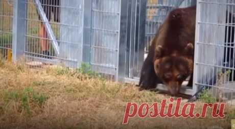 Медведь жил в маленькой клетке 17 лет, а теперь выпущен на природу #Видео