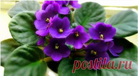 Йод и перекись для роста фиалки — секрет моей свекрови (фиалки цветут и пахнут даже зимой)