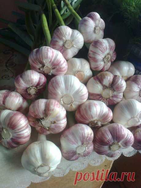 Любителям садово-огородных дел! Подробный рецепт выращивания озимого чеснока круного и особо крупного размера!