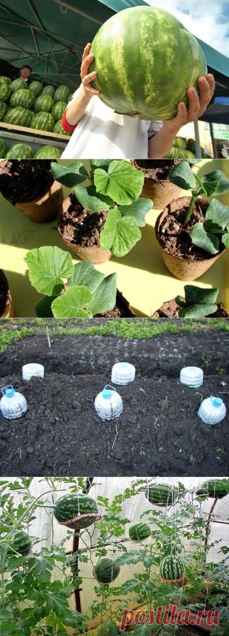 7 секретов выращивания бахчевых