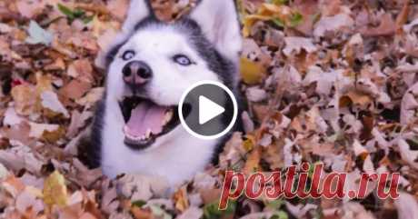 This huskies just is crazy about fall. You did not see so much happiness in one video yet! ☺ \ud83c\udf41 \ud83d\udc36