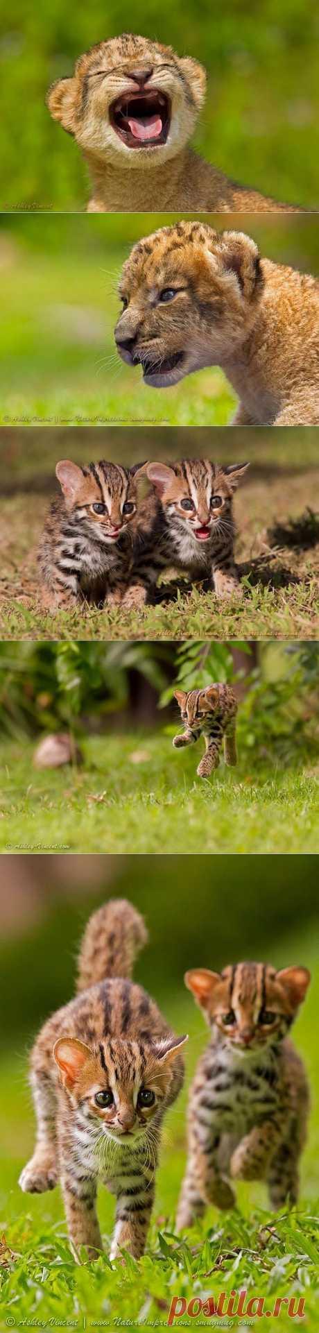 Львята и бенгальские кошки / Питомцы