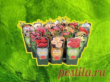 Стоит ли покупать саженцы роз в супермаркете и что с ними делать Стоит ли покупать розы в коробках. Как приручить покупную розу: правила обработки и посадки саженца.