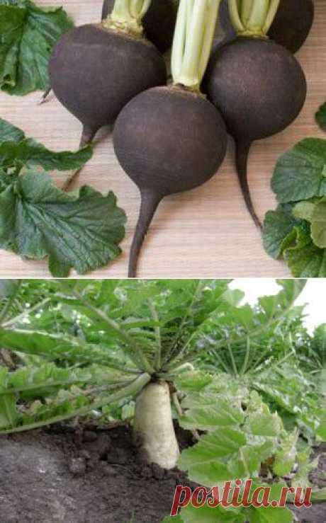 Выращивание, полезные свойства чёрной редьки.