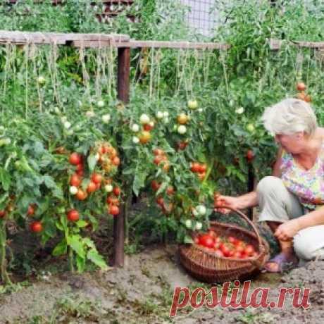 Хотите получать по два ведра томатов с куста?