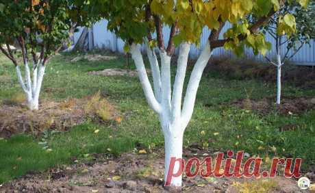 Ошибки при побелке плодовых деревьев могут просто погубить деревья в саду | 12 Соток | Яндекс Дзен