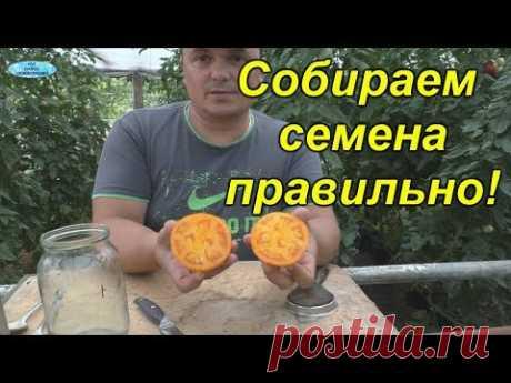 Сбор семян томатов- как это правильно сделать.