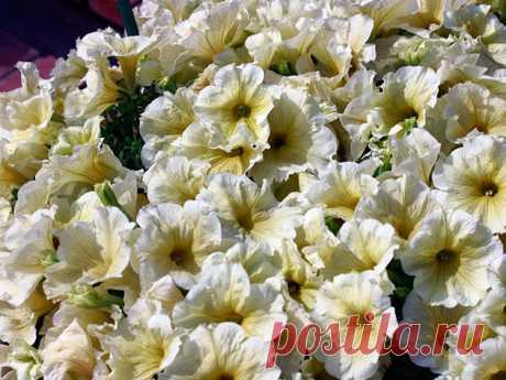 Цветок петуния – выращивание из семян, фото петунии, уход и посадка, петуния после цветения