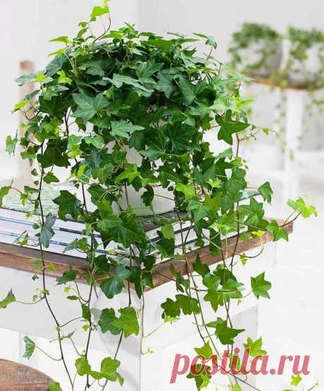 Вьющиеся комнатные растения: фото и названия