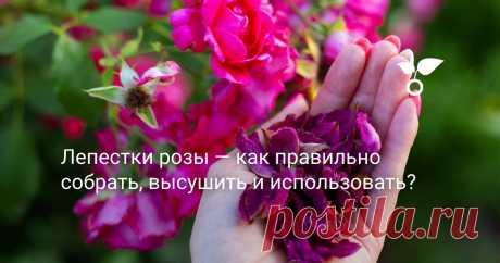 Лепестки розы — как правильно собрать, высушить и использовать? Можно в домашних условиях приготовить с лепестков роз и полезную розовую воду, отлично ухаживающую за кожей лица… Главное, не пропустить момент, чтобы наслаждаться розами до следующего сезона!