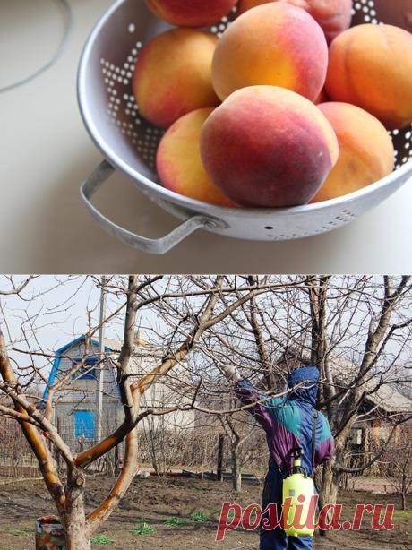 Курчавость листьев персика: лечение и профилактика