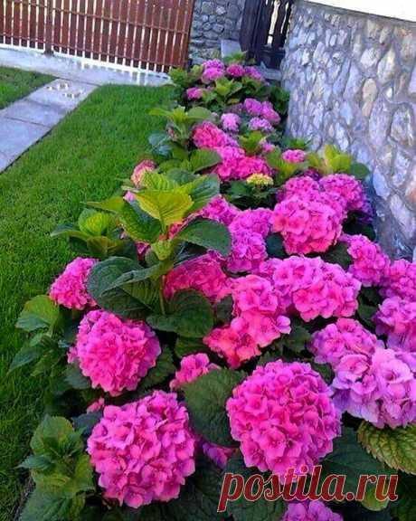 Какой красивый цвет у гортензии.