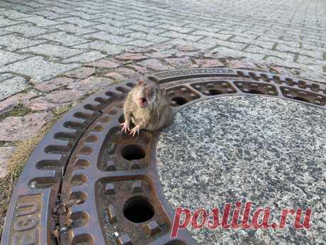 Этот канализационный люк — настоящая ловушка для грызунов в Германии. Только за последний год несколько раз крысы застревали в нем. Пухленьких спасают добровольцы