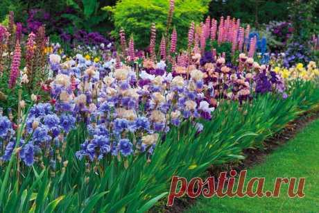 Ирисы – посадка цветочной радуги на дачном участке