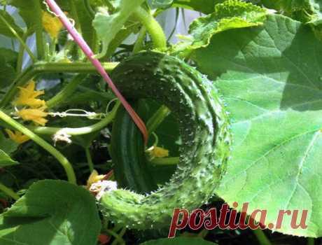 О чем говорят искривлённые плоды огурца | На природе, во саду и в огороде | Яндекс Дзен