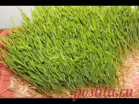 Печенная пророщенная пшеница для рыбалки секрет английских карпятников